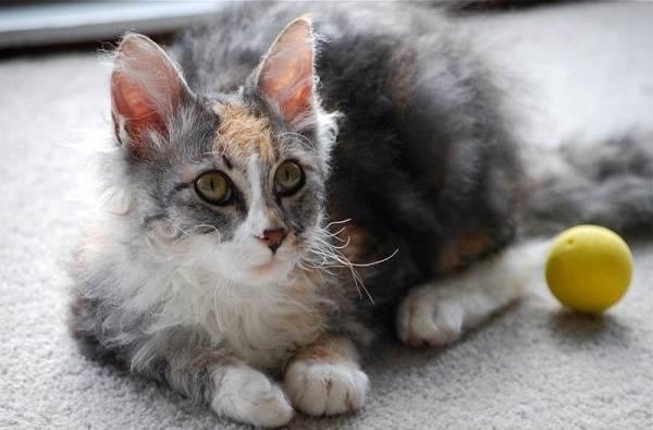 Лаперм-кошка-Описание-особенности-виды-характер-уход-и-цена-породы-лаперм-3