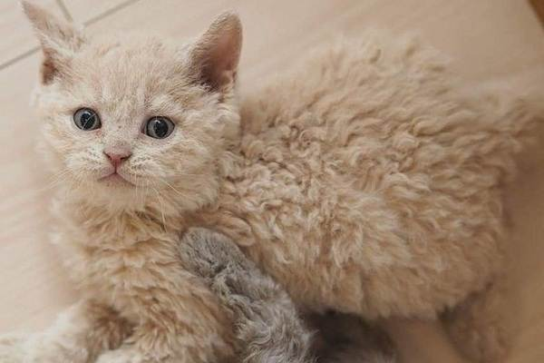 Лаперм-кошка-Описание-особенности-виды-характер-уход-и-цена-породы-лаперм-4