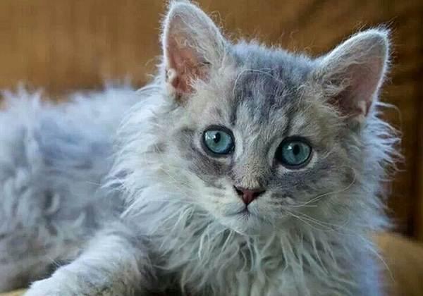 Лаперм-кошка-Описание-особенности-виды-характер-уход-и-цена-породы-лаперм-5