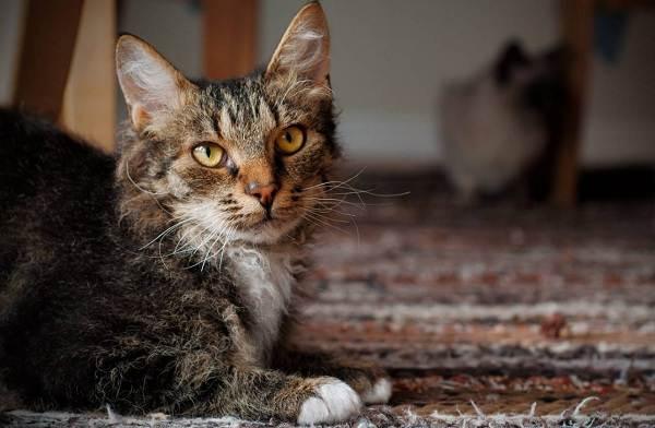 Лаперм-кошка-Описание-особенности-виды-характер-уход-и-цена-породы-лаперм-6