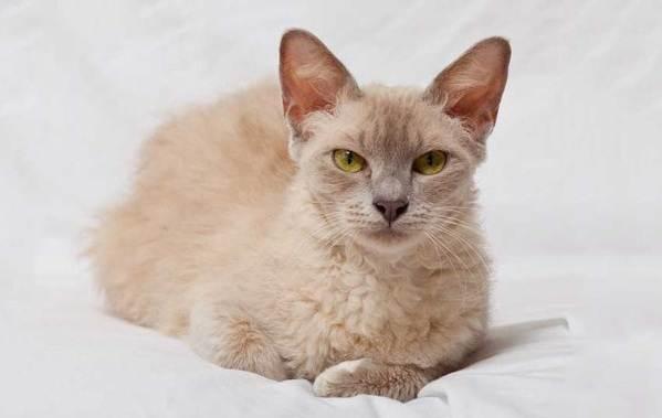 Лаперм-кошка-Описание-особенности-виды-характер-уход-и-цена-породы-лаперм-8