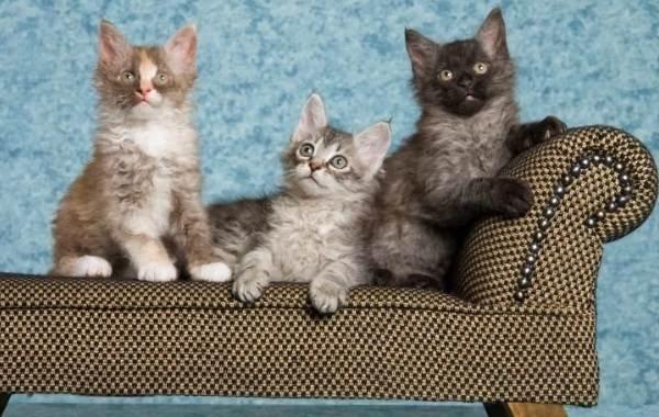 Лаперм-кошка-Описание-особенности-виды-характер-уход-и-цена-породы-лаперм-9