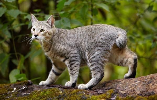 Пиксибоб-кошка-Описание-особенности-характер-история-уход-и-цена-породы-1