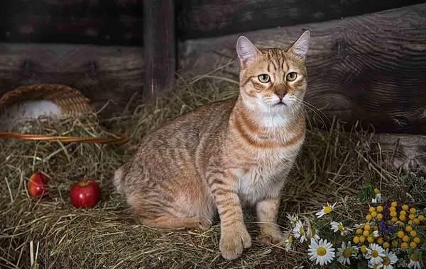 Пиксибоб-кошка-Описание-особенности-характер-история-уход-и-цена-породы-2