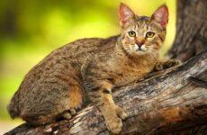 Пиксибоб кошка. Описание, особенности, характер, история, уход и цена породы