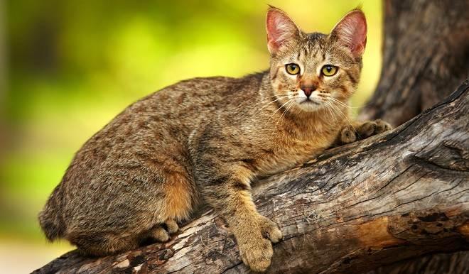 Пиксибоб-кошка-Описание-особенности-характер-история-уход-и-цена-породы-3