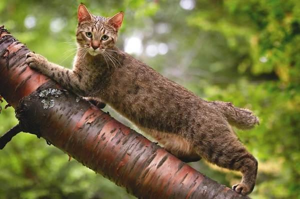 Пиксибоб-кошка-Описание-особенности-характер-история-уход-и-цена-породы-5