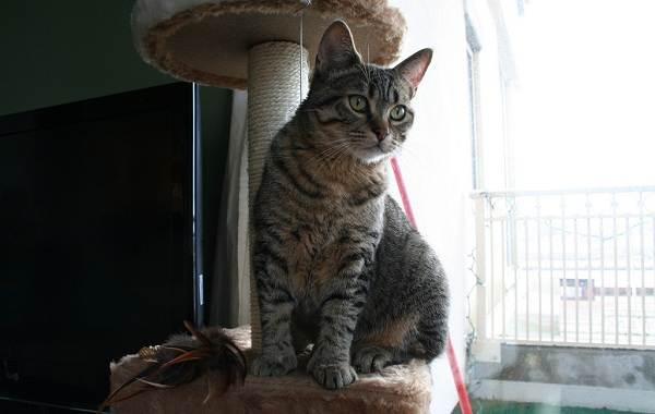 Пиксибоб-кошка-Описание-особенности-характер-история-уход-и-цена-породы-8