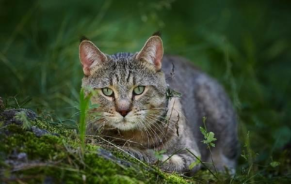 Пиксибоб-кошка-Описание-особенности-характер-история-уход-и-цена-породы-9