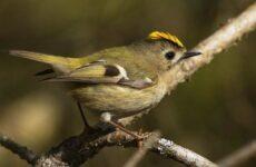 Птица королек. Описание, особенности, виды, образ жизни и среда обитания королька