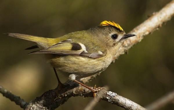 Птица-королек-Описание-особенности-виды-образ-жизни-и-среда-обитания-королька-1