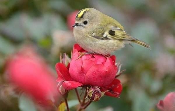 Птица-королек-Описание-особенности-виды-образ-жизни-и-среда-обитания-королька-10