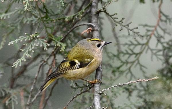 Птица-королек-Описание-особенности-виды-образ-жизни-и-среда-обитания-королька-12