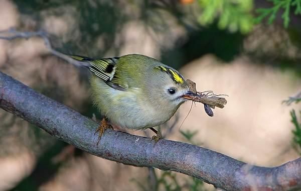 Птица-королек-Описание-особенности-виды-образ-жизни-и-среда-обитания-королька-13