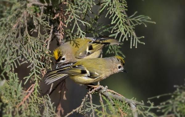 Птица-королек-Описание-особенности-виды-образ-жизни-и-среда-обитания-королька-14