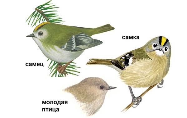 Птица-королек-Описание-особенности-виды-образ-жизни-и-среда-обитания-королька-2