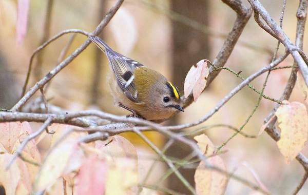 Птица-королек-Описание-особенности-виды-образ-жизни-и-среда-обитания-королька-3