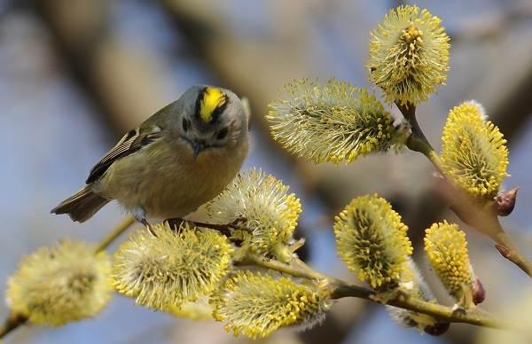 Птица-королек-Описание-особенности-виды-образ-жизни-и-среда-обитания-королька-4