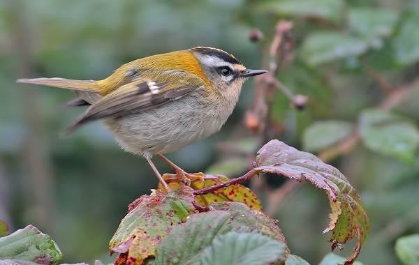 Птица-королек-Описание-особенности-виды-образ-жизни-и-среда-обитания-королька-5