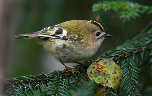 Птица-королек-Описание-особенности-виды-образ-жизни-и-среда-обитания-королька-6