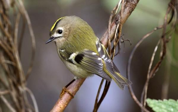 Птица-королек-Описание-особенности-виды-образ-жизни-и-среда-обитания-королька-7