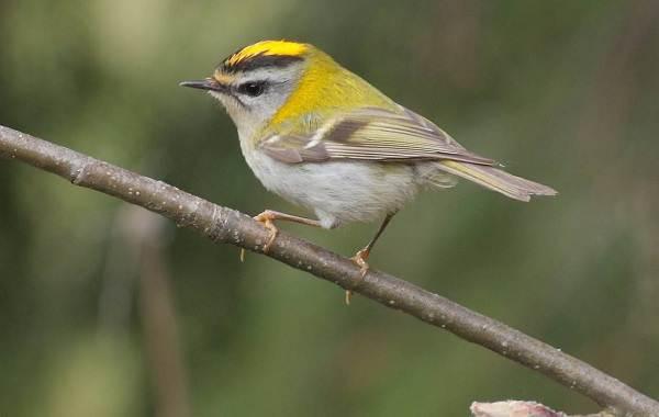 Птица-королек-Описание-особенности-виды-образ-жизни-и-среда-обитания-королька-8