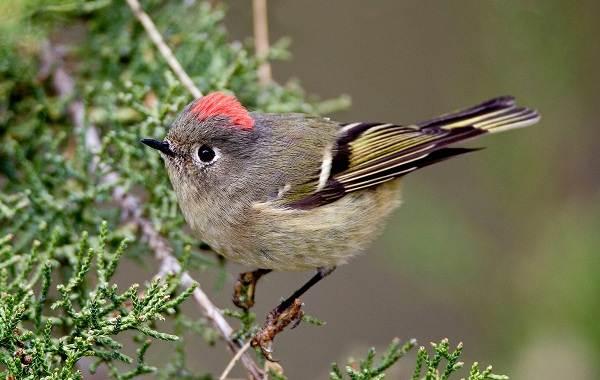 Птица-королек-Описание-особенности-виды-образ-жизни-и-среда-обитания-королька-9
