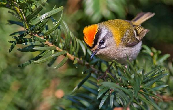 Птица-королек-Описание-особенности-виды-образ-жизни-и-среда-обитания-королька