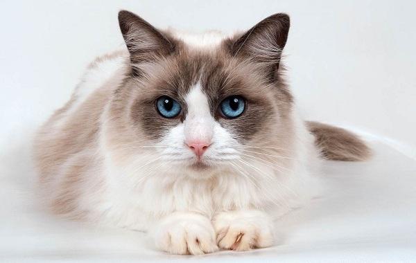 Рагамаффин-кошка-Описание-особенности-виды-характер-уход-и-цена-породы-рагамаффин-1