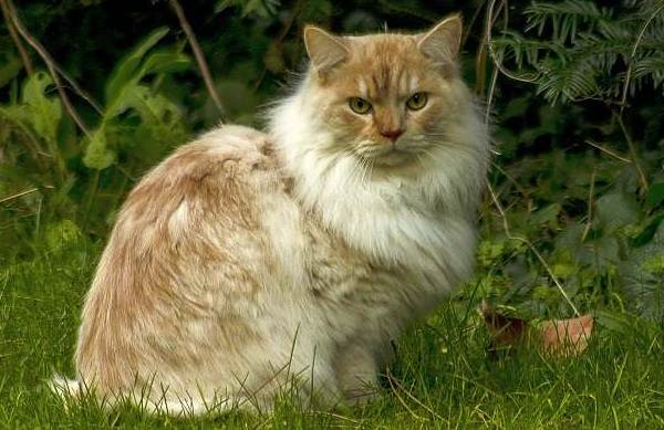 Рагамаффин-кошка-Описание-особенности-виды-характер-уход-и-цена-породы-рагамаффин-11