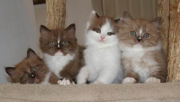 Рагамаффин-кошка-Описание-особенности-виды-характер-уход-и-цена-породы-рагамаффин-12