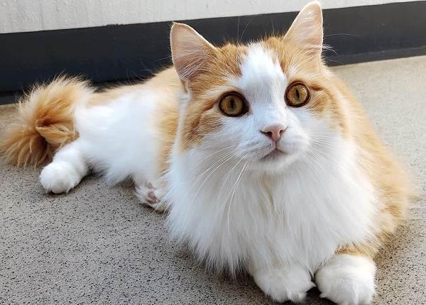 Рагамаффин-кошка-Описание-особенности-виды-характер-уход-и-цена-породы-рагамаффин-4