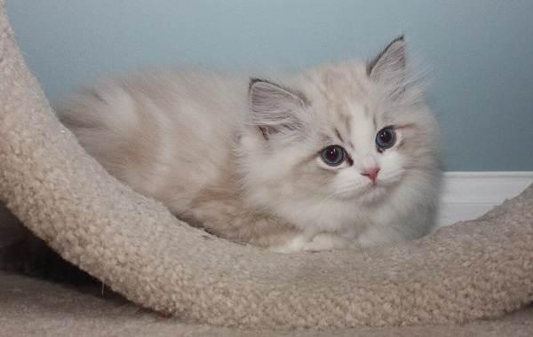 Рагамаффин-кошка-Описание-особенности-виды-характер-уход-и-цена-породы-рагамаффин-5