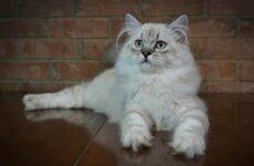 Рагамаффин кошка. Описание, особенности, виды, характер, уход и цена породы рагамаффин