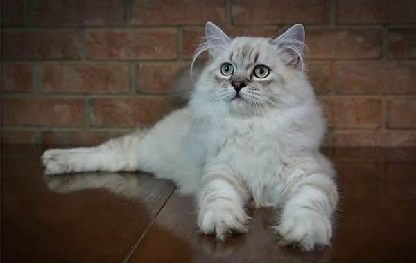 Рагамаффин-кошка-Описание-особенности-виды-характер-уход-и-цена-породы-рагамаффин-6