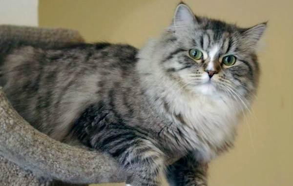 Рагамаффин-кошка-Описание-особенности-виды-характер-уход-и-цена-породы-рагамаффин-8