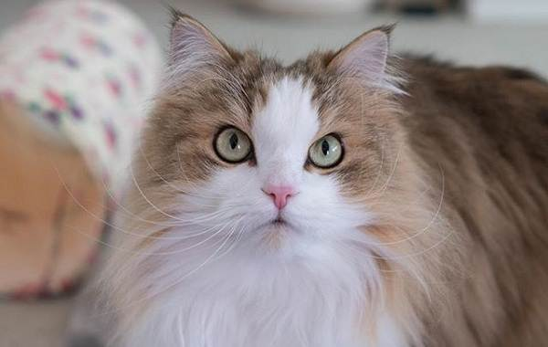 Рагамаффин-кошка-Описание-особенности-виды-характер-уход-и-цена-породы-рагамаффин-9