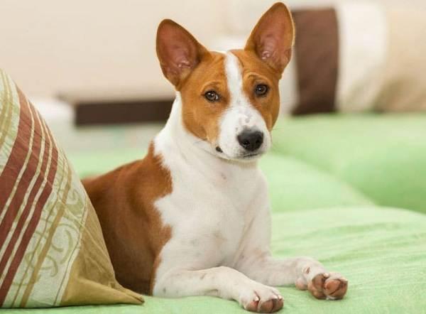 Самые-умные-породы-собак-11