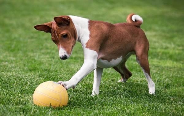 Самые-умные-породы-собак-12