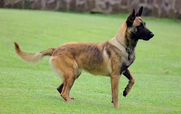 Самые-умные-породы-собак-13