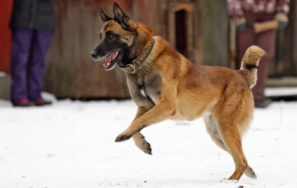 Самые-умные-породы-собак-14