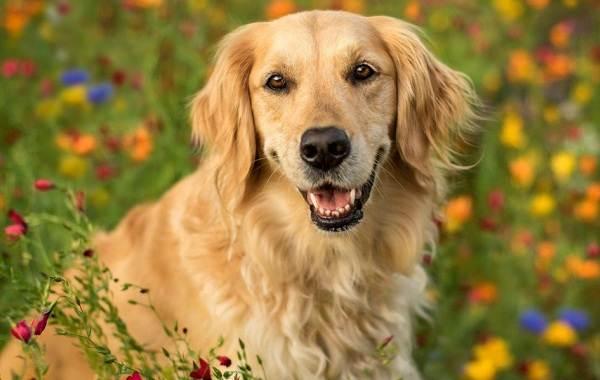 Самые-умные-породы-собак-16