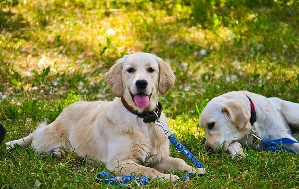 Самые-умные-породы-собак-17