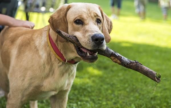 Самые-умные-породы-собак-18