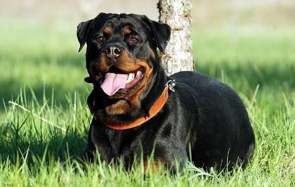 Самые-умные-породы-собак-19