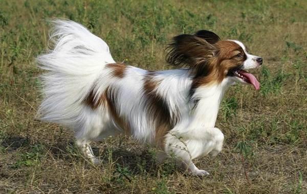 Самые-умные-породы-собак-21