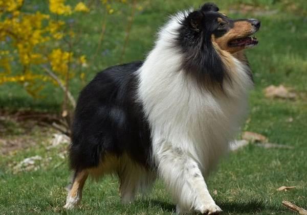 Самые-умные-породы-собак-23