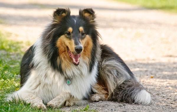 Самые-умные-породы-собак-24