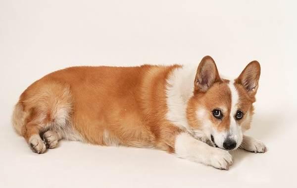 Самые-умные-породы-собак-26