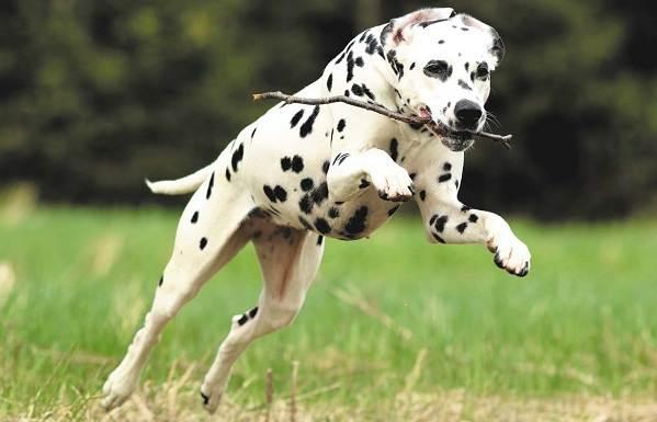 Самые-умные-породы-собак-27